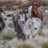 Feral horse population out of control in the Alps: 25,000 run free