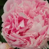 Enjoy the peony display at the Diggers Club Cloudehill Spring Fair this weekend.