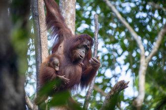 Borneo is home to the world's largest wild orangutan population.