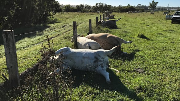 Row of cows found dead after lightning strike south of Brisbane