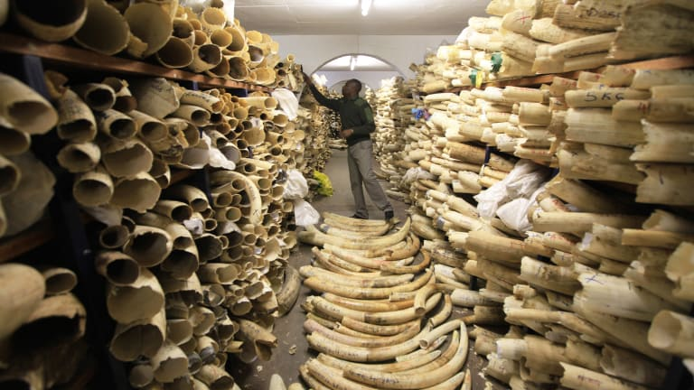 A Zimbabwe National Parks official inspecting the country's ivory stockpile at the Zimbabwe National Parks Headquarters in Harare, Zimbabwe.