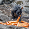 Thousands of kilograms of carrots and sweet potatoes have been delivered to animals  in fire-affected areas.