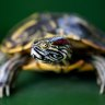 One of the 'world's worst' invasive species is threatening our turtle population
