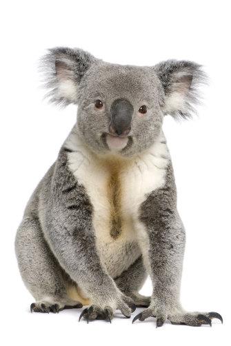 A male koala aged three.
