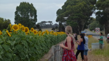 Fans of Max Winter's sunflower crop line Boundary Road, Armstrong Creek, to take photos - you can see a drone above the front woman's head.