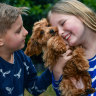 Alice Warry 10, and her brother, Tommy, 8, with their new toy cavoodle, Ralphy.