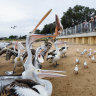Life's good for pelicans at feeding time