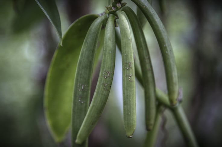 Ripe vanilla pods stamped with the owner's initials in Antsahalalina, Madagascar.