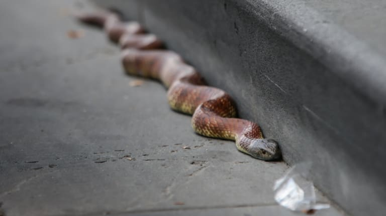 The tiger snake on Spencer Street on February 22.