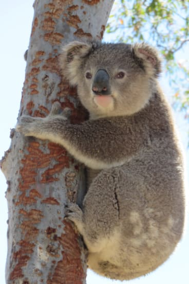 A koala in the Monaro region, photographed by Two Thumbs Wildlife Trust.