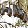 Fourth bat with deadly Lyssavirus found in Qld, this time on Gold Coast