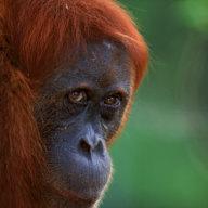 An orangutan in the Gunung Leuser National Park on the Indonesian island of Sumatra.