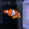 Finding Nemo's vision: State-of-the-art Qld tech to determine how clownfish see