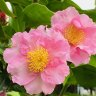 Champions of the camellia: Sydney's love affair continues