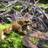 Riveting radio for scientists after 50 frogs freed on Mt Baw Baw