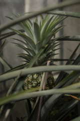 Pineapples can be grown in hothouses.