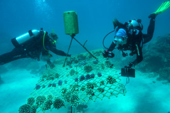 Emma Camp and a colleague check a coral nursery on the Opal reef, part of the Great Barrier Reef.