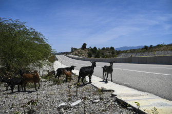Goats make themselves at home on the peaceful Suai-Fatucai section of the expressway.