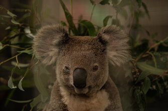 Koalas could be extinct in the wild before 2050 if their current decline is not stopped, a NSW parliamentary inquiry has found.
