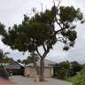Why councils won't remove your nuisance verge tree, even if it's in the middle of your driveway