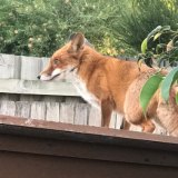 Fox found in Maroubra in 2018.