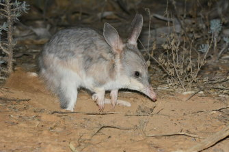 Higher numbers of the greater bilbies are popping up in the Mallee Cliffs National Park, just months after their re-introduction back into the wild in NSW.