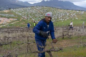Labourers on the Louisenhof Wines vineyard near Stellenbosch in the Western Cape in 2018.