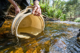Arthur Rylah Institute staff return endangered fish and crustaceans to waterways in East Gippsland.
