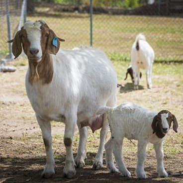 The farm's prize goats have just given birth to a new clutch of kids.