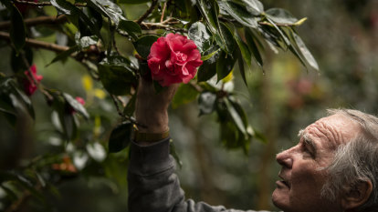Camellias saved a house from bushfire. Now the owner is saving them
