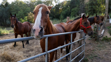 Horses stand in an enclosure at the location of a meeting between local authorities, elected officials and horse breeders whose animals have been victims of mutilation attacks in Plailly, northern France.