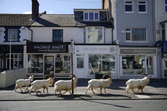 Mountain goats roam the streets of Llandudno, Wales.