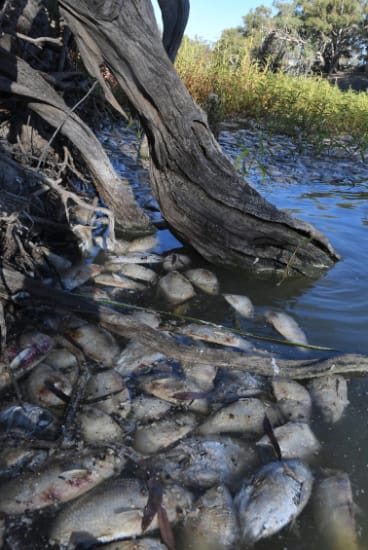 Hundreds of bony bream and other dead fish in the Darling River at Menindee.