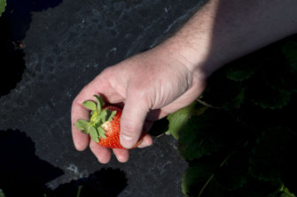 Bob Pitzer of Harvest CROO Robotics holds a freshly picked strawberry.