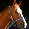 Emotional farewell for Canberra's greatest racehorse Single Gaze