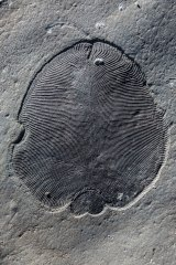 A Dickinsonia fossil.