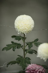 An in-curve type chrysanthemum called Alison McNamara.