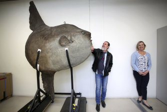 Australian Museum scientists Andrew King and Kerryn Parkinson with a sunfish specimen.