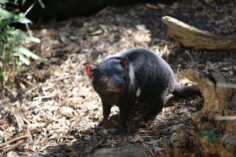 The Tasmanian devil is among almost 200 plant and animal species or  endangered ecological communities that will no longer have recovery plans but only conservation advices to support their survival.