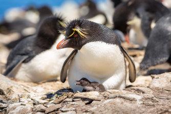 A rockhopper penguin in A Perfect Planet.