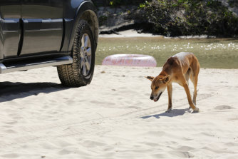 A young female dingo on Fraser Island.