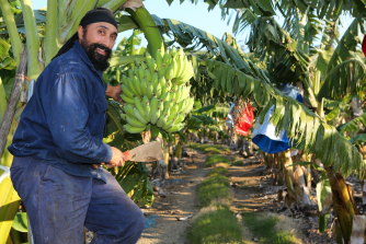 Third-generation banana grower Michael Singh said he could count the number of banana growers left in the Coffs region on one hand.