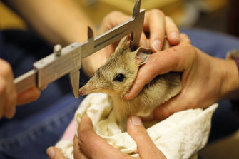 Western barred bandicoots have been released into the wild in NSW for the first time in a century.