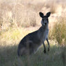 Skippy on the menu as Victoria loosens rules for kangaroo shooters