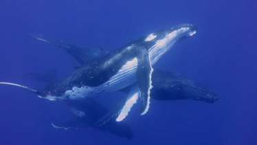 Humpback whales could see a population slump similar to grey whales a decade ago.