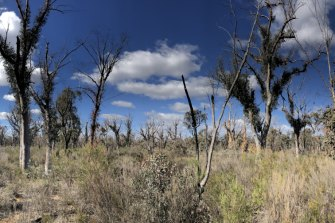 Scribbly gum trees in the Pilliga Forest in north-western NSW look like they are re-sprouting after a fire - but there hasn't been one in that area.