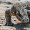 Komodo Island is banning tourists because they steal the dragons