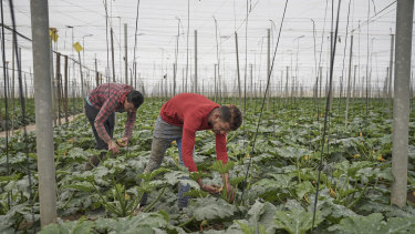 Migrants work in one of the many  greenhouses in El Ejido, Spain. The town returned a 30 per cent vote for the far-right party Vox in municipal elections.