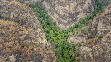 Spared from bushfires: firefighters preserved the original habitat of the 'dinosaur' Wollemi Pines.