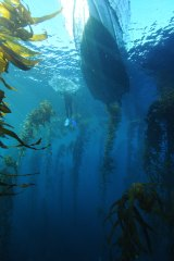 Giant kelp forests may be on the way back.